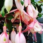 Saint-Chinian, toute la Pépinière avec une gamme variée de plantes annuelles et vivaces