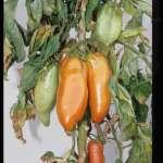 pépiniériste de Saint-Chinian sélectionne pour vous les meilleurs plants !