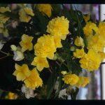 Begonia retombant grosses fleurs