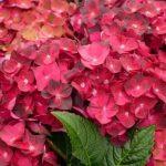 Hydrandea vanille fraise