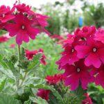 Verveine fleurs