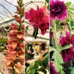 Digitale / Fuchsia / Rose trémière fleurs doubles
