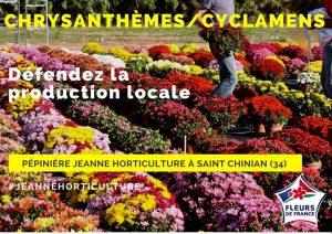 chrysanthèmes saint chinian